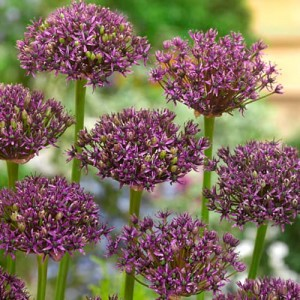 Czosnek (Allium) Miami