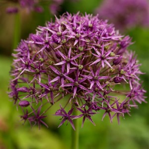 Czosnek (Allium) Violet Beauty