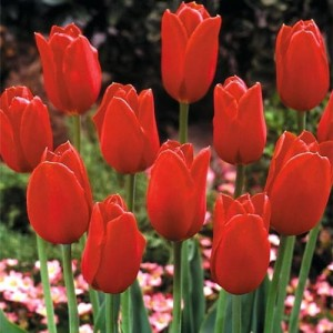 Tulipan Triumph 'Blood Red' - 5szt