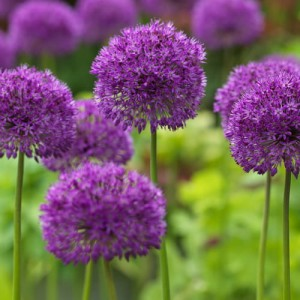 Czosnek (Allium) Purple Sensation